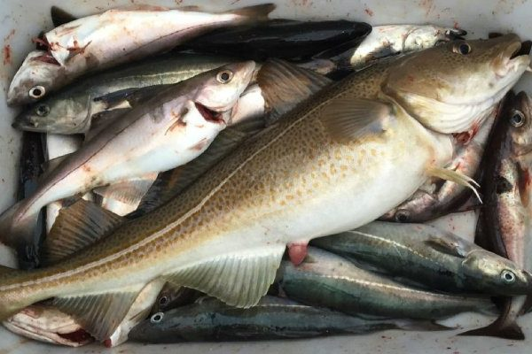 The ICES advises reducing quotas for Arctic cod and haddock in the Barents Sea by 20 and 23 per cent respectively for 2021