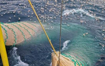 Positive and good blue whiting fishing in the Norwegian Sea