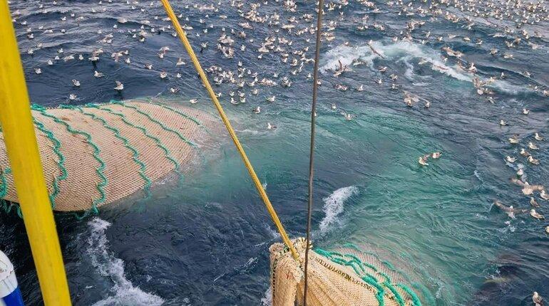blue whiting norwegian sea