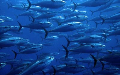 Bluefin tuna catch-tag-release' programme continues but still no fishery