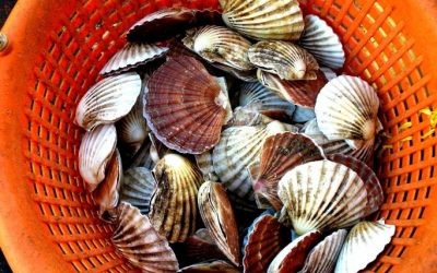 Open consultation on latent capacity in the over 10m scallop and shellfish fleet