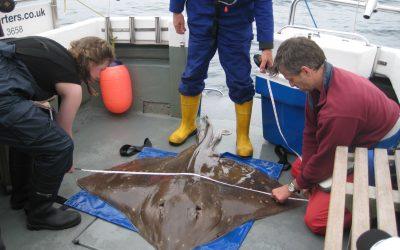 Marine Scotland critically endangered flapper skate study