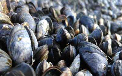 Shellfish Warning issued for Castlemaine Production Area