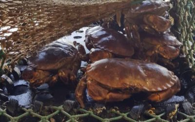 Isle of Man announce Lobster and Crab Minimum Size Increase
