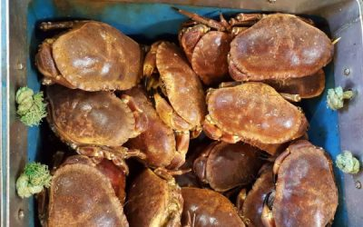 EUMOFA study examines COVID-19 impact on Brown Crab supply chain