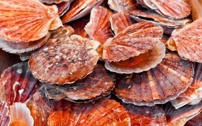 King Scallop Fishery closure in Eastern English Channel to protect stocks