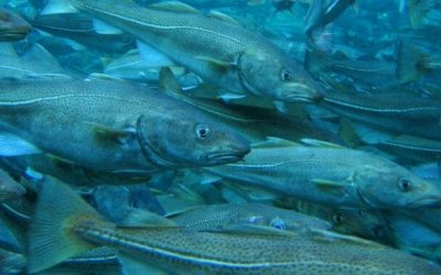 EU expresses concern over unsustainable decisions on Arctic cod by Norway and Russia