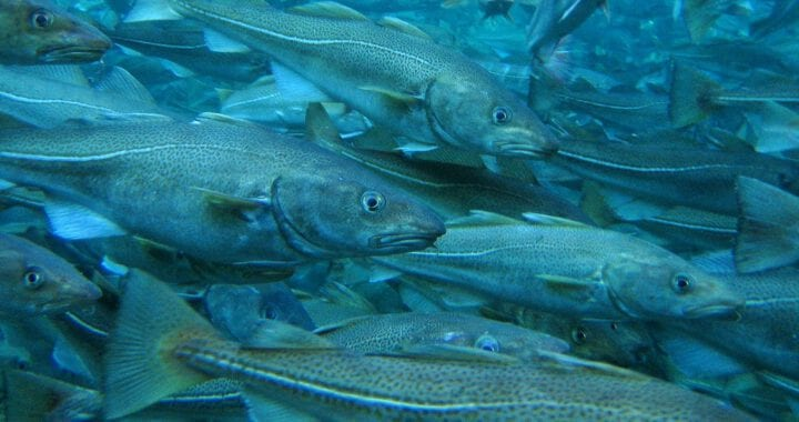The EU has expressed concern over unsustainable decisions on Arctic cod in the Barents Sea and the Svalbard Zone by Norway and Russia