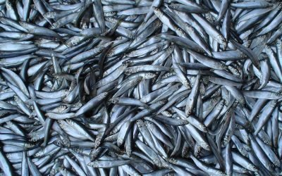 University of Aberdeen research reveals resurgence of Sprat in the Clyde