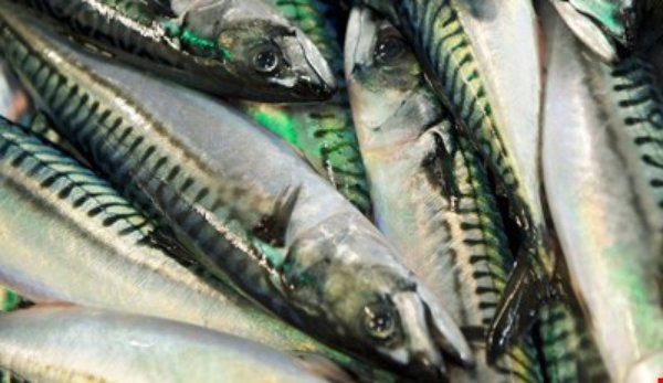 Norges Sildesalgslag has reported that the mackerel fleet has landed over 200,000 tonnes of their unilaterally set quota