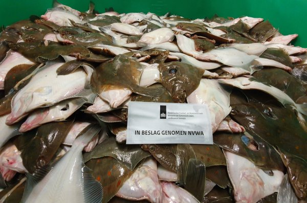 The Dutch Food and Consumer Product Safety Authority seizes more 26 tonnes of undersized plaice