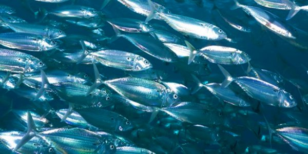 The MSC is calling for urgent action to protect vital fish stocks in the North East Atlantic