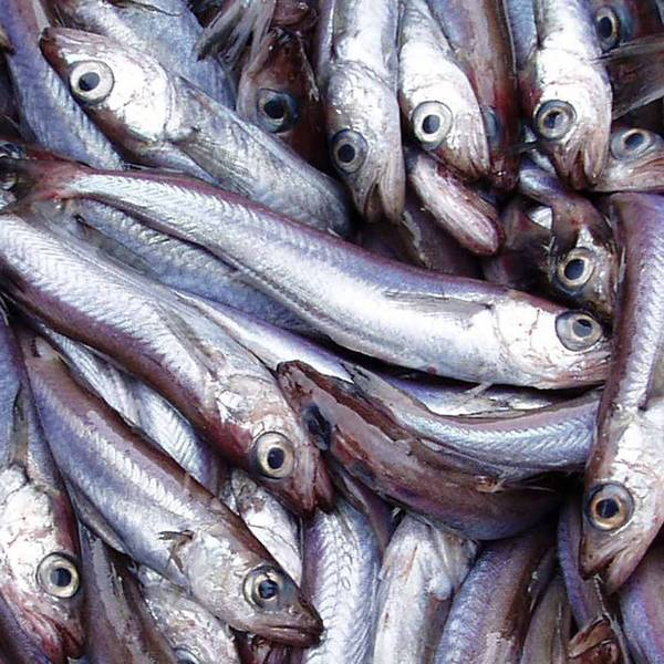 The Marintrust has formally accepted the Northeast Atlantic Blue Whiting FIP onto the Marintrust Improver Programme (IP)