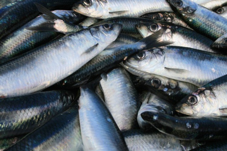 The Norwegian Pelagic Association is critical of ICES advice which allows for an increase of 45% of the TAC in North Sea Herring for 2022