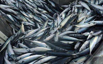 Norwegian mackerel fleet records improvement in catches for Week 40