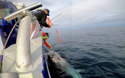 Satellite-tagged bluefin tuna swam 15,000 kilometres in one year